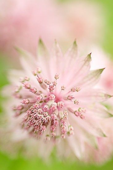 Pink Astrantia Flower - Close-UP