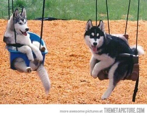 Just Huskies in swings…