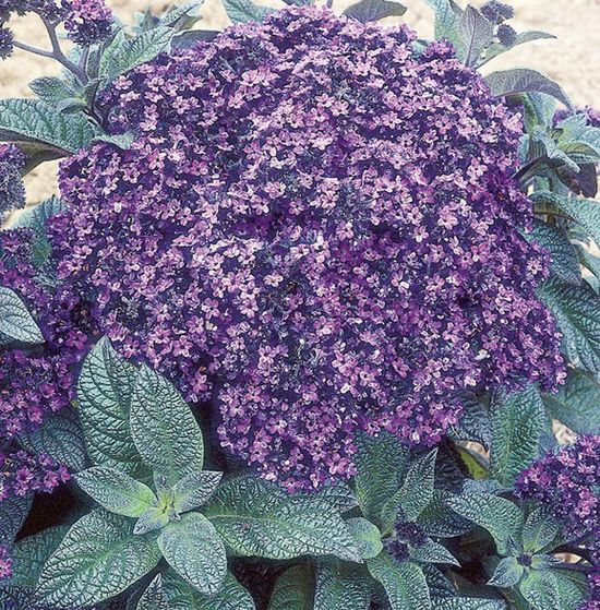 Heliotrope: Flower of the Day