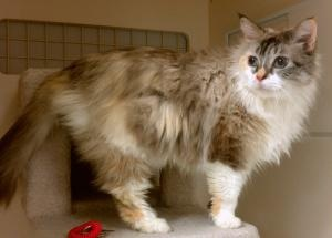 Abigail, aka 'Miss A' is an adoptable Ragdoll Cat in Seattle, WA. **Please email if you would like more information on a cat as this is the most efficient way for rescue personnel to communicate. Only...