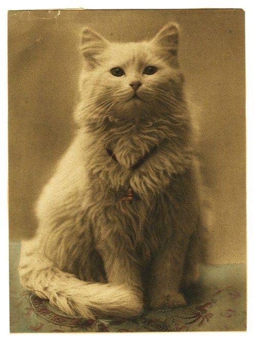 vintage photo of cat