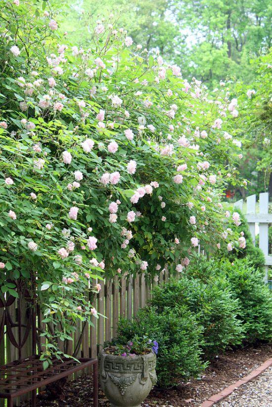 beautiful gardens + climbing roses