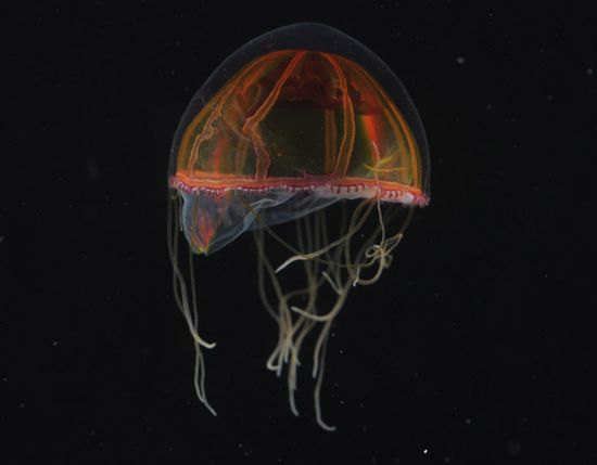 Deep Sea Jellyfish: Trachymedusa: Feeds on planton and small crustacea near the sea floor.