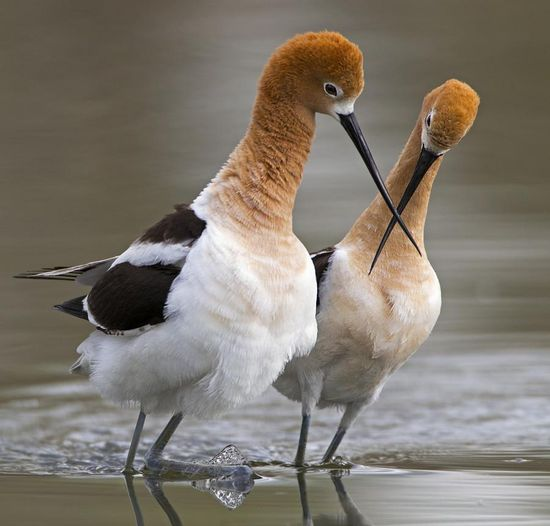 """American Avocet. You can see Over 3000 more animal pictures on my Facebook """"Animals Are Awesome"""" page. animals, wildlife, pictures, nature, fish, birds, photography, cute, beautiful"""
