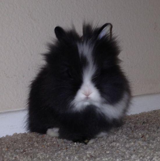 My lionhead love! Baby bunny!!