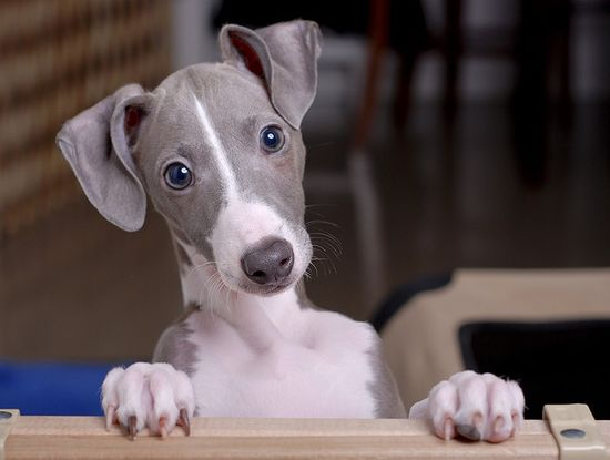 Italian Greyhound. What a beauty.
