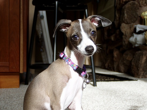 I believe this would be the perfect dog, italian greyhound