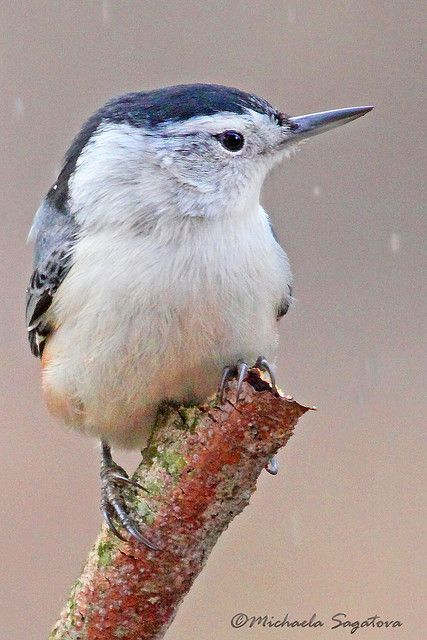 White-breasted Nuthatch by ~ Michaela Sagatova ~, via Flickr