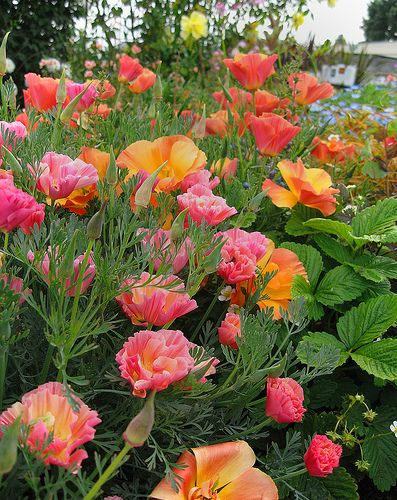 Cal Poppies  Rose  & Apricot Chiffon