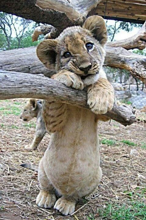 i LOVE baby lions!!