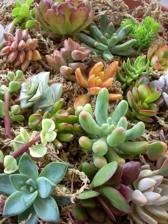 "60 Live Succulent Cuttings Collection. $27.00, via Etsy. - will need about 100 or so cuttings per 18 x 24 frame size. Order 12 to fill three frames or a constructed frame 4'-6"" x 2' high."