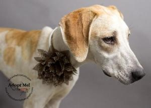 Elizabeth is an adoptable Labrador Retriever Dog in McKinney, TX. We do not have a facility to house the dogs in our program. They are all kept in foster homes until they are adopted. Therefore, if yo...
