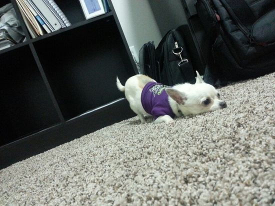 Chihuahua- precious baby dog!