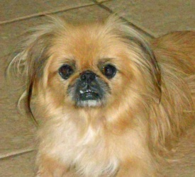 Cleopatra is an adoptable Pekingese Dog in Bradenton, FL. Cleopatra (Cleo for short) was picked up as a stray by Animal Services and never claimed. UnderDog Rescued her and assured this little beauty ...