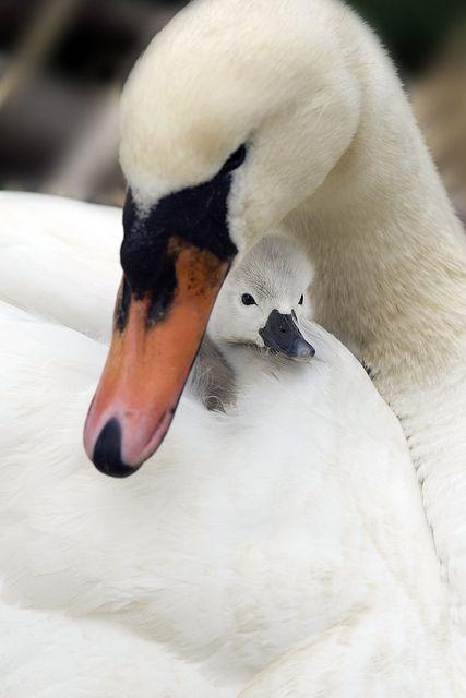 Mute swan & cygnet by Jacky Parker