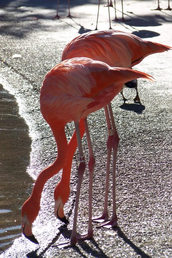 flamingos - wild animal park, San Diego, CA