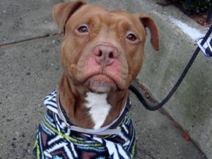 URGENT-COCO is an adoptable Pit Bull Terrier Dog in New York, NY. A staff member writes: Coco spent the first two days curled up in a ball in her kennel, lifting her head only to growl quietly when the leash...