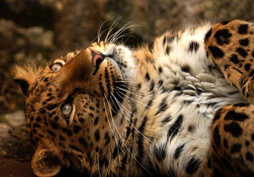 ~I Love Big Cats!~