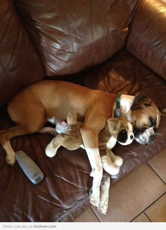 Boxer cuddling with his pet Boxer   ...........click here to find out more     googydog.com