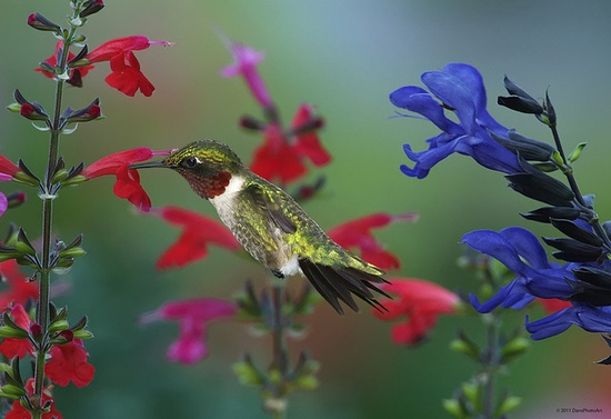 male ruby throated hummingbird feeding on red salvia