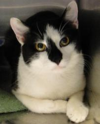 #FLORIDA #URGENT ~ ID 1018693 ABRAHAM is an #adoptable Domestic Short Hair Cat in #Brooksville - HERNANDO COUNTY ANIMAL SERVICES     19450 Oliver St   #Brooksville FL 34601     mailto:ac@co.hern... mailto:scaskie@co...  P 352 796-5062