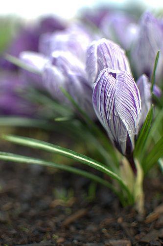 ~ spring crocus