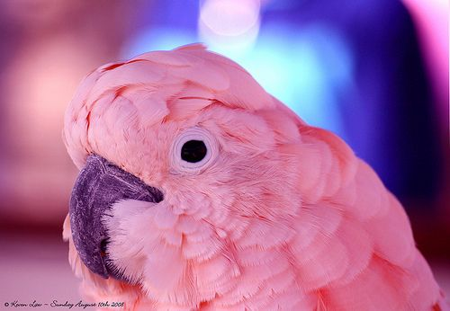 Pink Cockatoo--oh my word....pink!