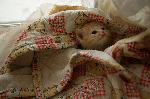 kitten in a blanket