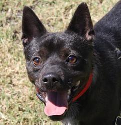 Mellow: Schipperke, Dog; Chico, CA