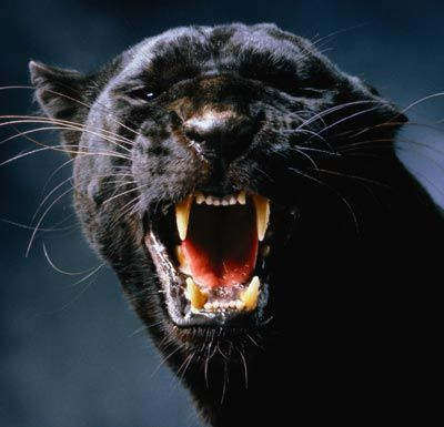 Black Leopard or Panther