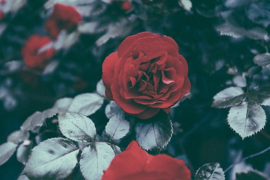 Rose Photography Rose Holland Europe Travel Nature Wall by SVNTY