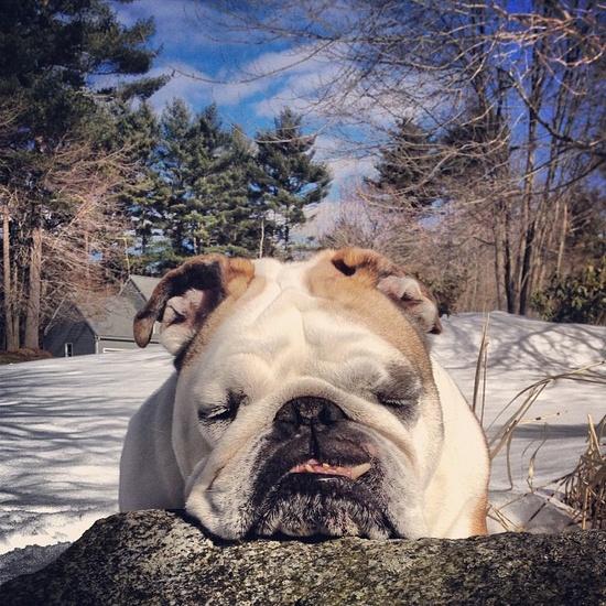 :) bulldog