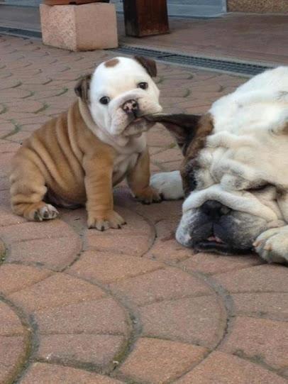 Bulldog puppy and his mama.
