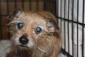 No longer available Charlize - Norfolk Terrier/Yorkshire Terrier Yorkie Mix - Princeton, NJ.  9 yrs old