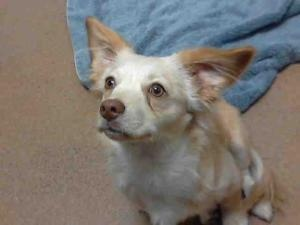 MILTON is an adoptable Chihuahua Dog in Martinez, CA.  ...