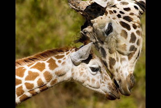 Mom and baby giraffes -- A Mother's Love