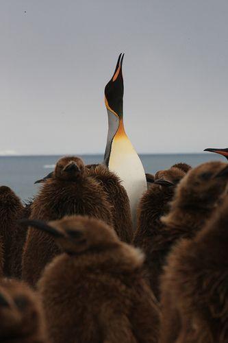 . King Penguin & Chicks