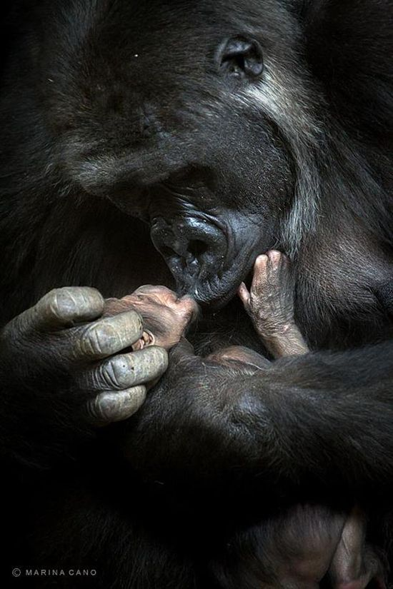 Mountain gorilla gazing at her newborn by Marina Cano...  I love this... and my heart aches at the same time for how horrible animals are treated when a picture like this shows how similar we are.