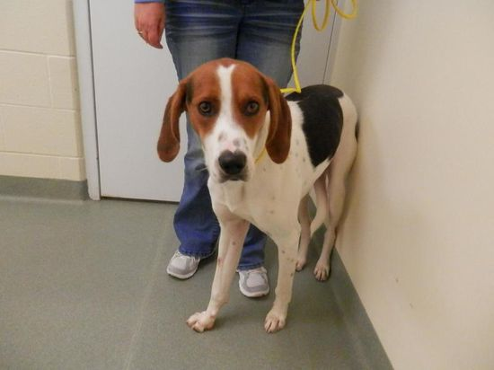#MICHIGAN #URGENT ~ Dalton-URGENT ID 49151 is a 1yo Neutered HW- UTD vaccines Treeing Walker Coonhound afraid of loud noises so not a hunting dog - he loves atten & would be a great family pet & is in need of a loving #adopter / #rescue at IONIA COUNTY ANIMAL SHELTER 3853 Sparrow Dr  #Ionia MI 48846 mailto:ioniaanima... Ph 616-527-9040
