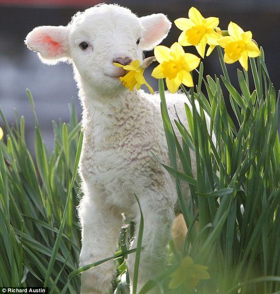Lamb - Daffodils....precious