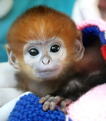 Elke the francois langur monkey