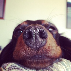 Dachshund. This is what I often wake up to