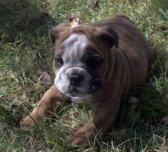 What dark, soulful eyes on this splendidly sweet little baby bullie. #bulldog #pets #dog #cute #puppy