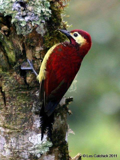Crimson-mantled woodpecker - male