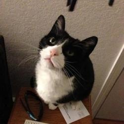 Michael is an adoptable Tuxedo Cat in Anchorage, AK.   Michael is a small boy with the classic tuxedo look. He is quite handsome in his black and white formal attire. Michael has had a terrible past w...Please click on pic for additional info on this kitty????