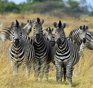 Zebras are my favourite wild animals and I would love to visit Africa to see the zebras