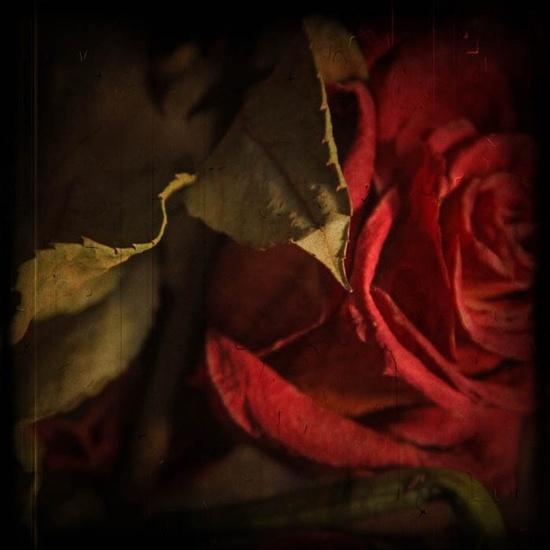 still life photography red rose fine art by judeMcConkeyPhotos, $40.00