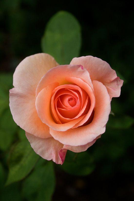Lovely peach rose.