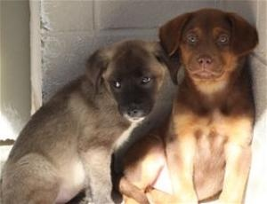 JUSTICE is an adoptable Labrador Retriever Dog in Brunswick, GA. ...