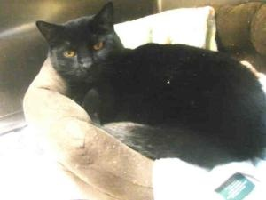 BOO TWO is a Spayed #adoptable Domestic Short Hair Cat in #Alameda, #CALIFORNIA.  ...  ALAMEDA ANIMAL SHELTER (FAAS)   1590 Fortmann Way Alameda CA 94501   Ph 510-337-8565